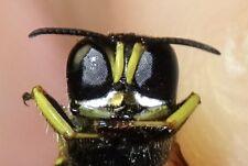 Hymenoptea Crabronidae Ectemnius species IN #050 Insect Pepsis Megalara Wasp