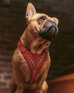 Bestia French Bulldog studded harness. 100% hand made 100% leather 100% quality