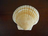 Shell Pecten Irradians Seashell - MONSTER - 229 MM WOW - RARE SIZE