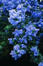 25 Blue Lilac Seeds Tree Fragrant Hardy Perennial Flower Shrub Garden Bloom