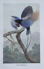 1920 BLAUER PARADIESVOGEL alter Druck antique print Litho Brehms Tierleben Vögel
