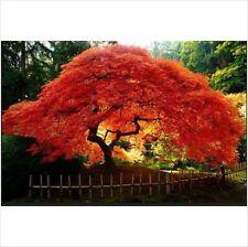 Acer Ginnala Flame (Flame Amur Maple) 5 Seeds