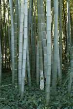 Moso Silver Bamboo Phyllostachys Pubescens Seeds - BUY 2 GET 1 FREE -