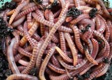 Eisenia Hortensis Gross 1 kg Regenwürmer Dendrobena Veneta
