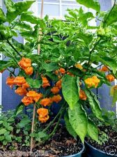 Jamaican Yellow Scotch Bonnet Pepper Chilli / Chili Seeds Healthy Rare 30 Seeds