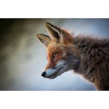 Photographic Print Poster Fox Mammal Animal Nature Cute Animals Young Wild