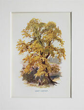 Sweet Chestnut Tree. - Mounted Antique Botanical Print, Colour Lithograph
