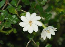 Gardenia thunbergia - Forest Gardenia - Heavenly Scented Flowers - 5 Seeds