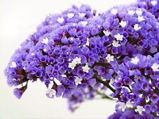 Statice Purple Attraction 100 Seeds Good Cut or Dried Flower Perennial