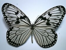 Real Butterfly/Moth/Insect Set/Spread B4769 Large Idea durvillei theia 10.5 cm