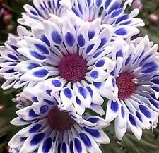 Blue White Mum Chrysanthemum Seeds 400+ Seeds (1/2 ounce) + 1 Plant Marker