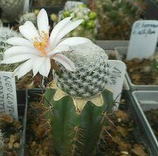 Mammillaria albiflora, Du ca. 1,6 cm