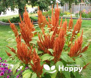 AMARANTHUS - Hot Biscuits - 200 seeds - Amaranthus cruentus - Annual - Brown