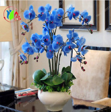 Rare Orchid Bonsai Blue Butterfly Orchid Phalaenopsis Seeds