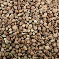 HEMP SEED for fishing bait FREE UK DELIVERY