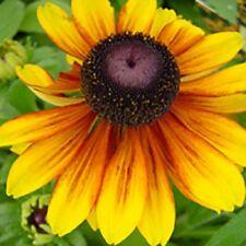 NEW 30+ DWARF RUDBECKIA TOTO GOLD FLOWER SEEDS / PERENNIAL