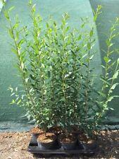 Halbschatten Liguster-Strauchpflanzen für gemäßigtes Klima