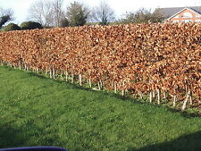 75 Green Beech Hedging Plants 2 Year Old, 1-2ft Grade 1  Hedge Trees 40-60cm