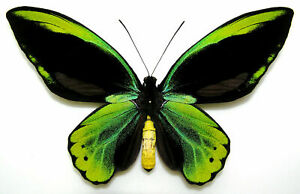 FANTASTIC YELLOW ORNITHOPTERA ALLOTEI. AMAZING! HUGE! PERFECT! WORLD RARITY!!!