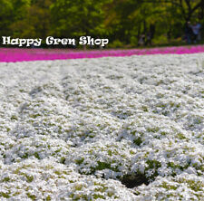 Mountain Phlox - 160 Seeds - Linanthus Grandiflorus - Annual Flower