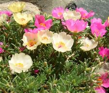 MOSS ROSE MIX Portulaca Grandiflora - 1,250 Bulk Seeds