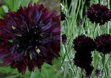 200+ Samen Centaurea cyanus black - Kornblume Schwarz