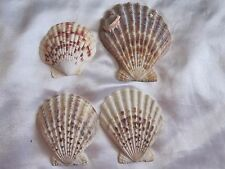 4 Lions Paw Scallop Seashells Shell Island Nautical Aquarium Decor 2-3.5""