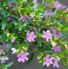 VIOLET CUPHEA hyssopifolia False Heather small flowers plant in 140mm pot