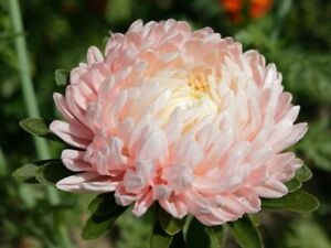 Seeds Aster Peony Pink Giant Annual Outdoor Garden Cut Flower Planting Ukraine