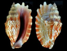 Strombus sinuatus - Shells from all over the World NEW!!!