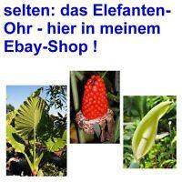 i! das ELEFANTEN-OHR !i seltene schöne Zimmerpflanze Kübel Topf Balkon Terrasse