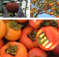 Kakipflaume Diospyros virginiana Gemüse Obststrauch Gehölze Bäume für das Freie