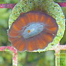 """New listing Saf~ """"Wysiwyg�Red/Teal Candy Cane Trumpet Coral,Live Coral ,Hammer,Torch,Lps"""