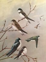 1929 Ornithology Vintage Bird Print Bank Rough Winged Tree Swallow Nature Branch
