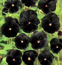 Black Pansy Seeds, Black Viola Seeds, Black Pansies, Non-Gmo Heirloom Seed, 50ct