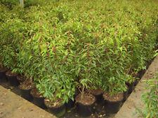 Immergrüne Pflanzen, Sämereien & Blumenzwiebeln Frühling (7 bis -12 ° C) -18