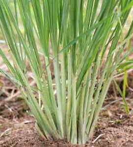 LEMONGRASS - 100 Seeds CITRONELLA Cymbopogon Flexuosus Perennial !!!