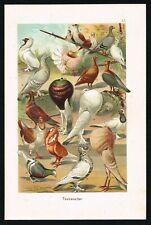 Breeds of Pigeons & Doves, Antique Plate, F.Martin's Naturgeschichte 1901