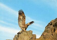 POSTCARD- Golden Eagle - Photographed by James Walkden in NE Scotland