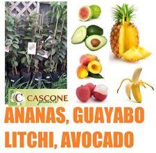 pianta tropicale mango guayabo litchi avocado carambola papaya papaia carica
