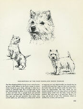 WEST HIGHLAND WHITE TERRIER WESTIE VINTAGE DOG PRINT SKETCH BRIDGET OLERENSHAW