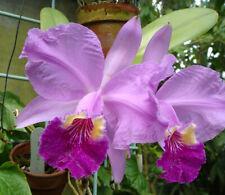 Orchid Cattleya lueddemanniana (M) 33pr