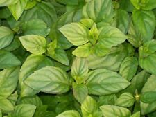Orange Mint - 10+ seeds - AROMATIC and SPECIAL!