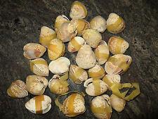 28 pc Clam Shells (craft jewlery nautical beach decor)