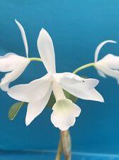 Cattleya Guaranthe skinneri alba (Albescens) 'Snow Angel' Species Orchid