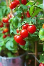 Tiny Tim Cherry Tomato Seeds, Dwarf Tomato Plant, NON-GMO, Heirloom,  FREE SHIP