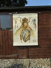 RARE VINTAGE PAUL PFURTSCHELLER PULL DOWN SCHOOL CHART OF HONEYBEE LITHOGRAPH