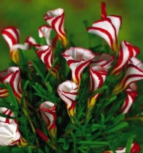 US-Seller Oxalis Versicolor Flowers 50Pcs Seed Beautiful Flowering plants