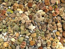 100 Lithops RARE mix SEMI SEEDS Sassi Fioriti cactus samen succulent cacti