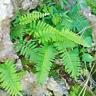 Jamaican Kalawalla Herb (Wildcrafted, Whole leaves, Dr Sebi Approved Alkaline)